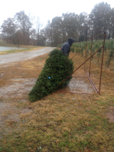 Dragging the tree to the stand.