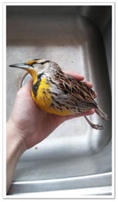 A very dead but GLORIOUS Western Meadowlark.
